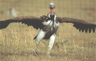 Pr sentation du vautour oricou - Doit on dormir la tete au nord ou au sud ...